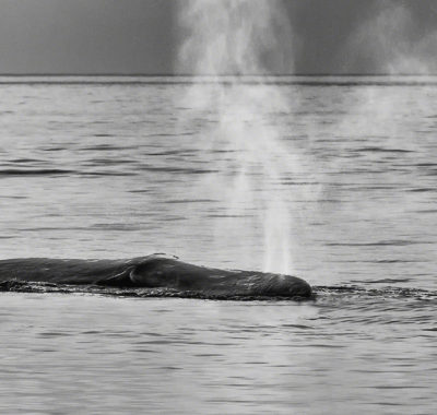 Whale Breaking Through Surface